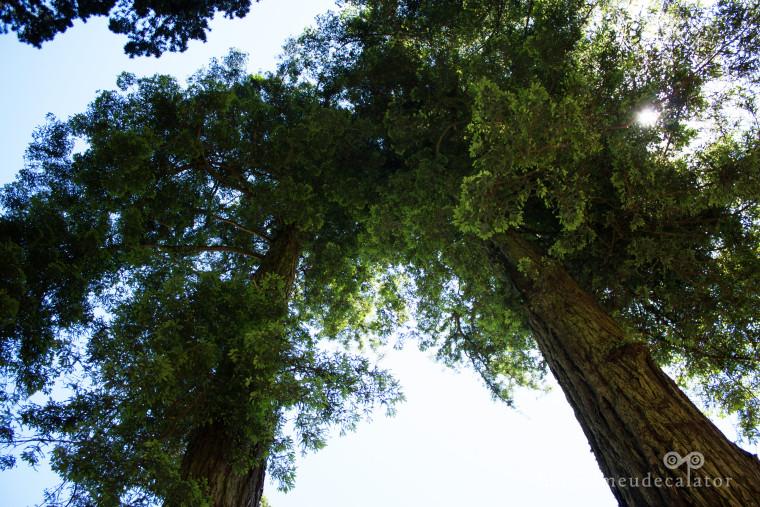 arbori de sequoia