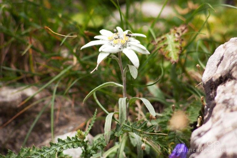 floare de colt pe caraiman
