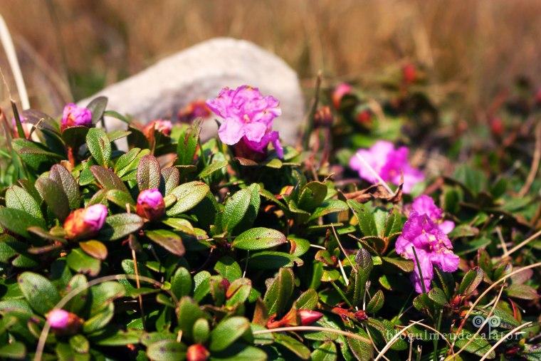 rododendron pe caraiman