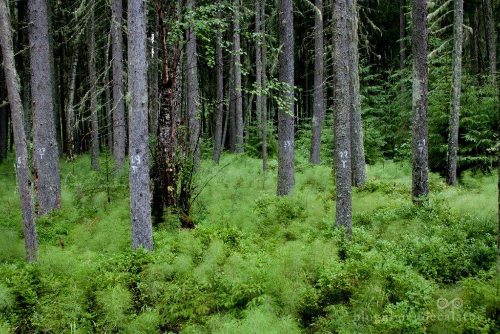 Tinovul Mare-pini si vegetatie
