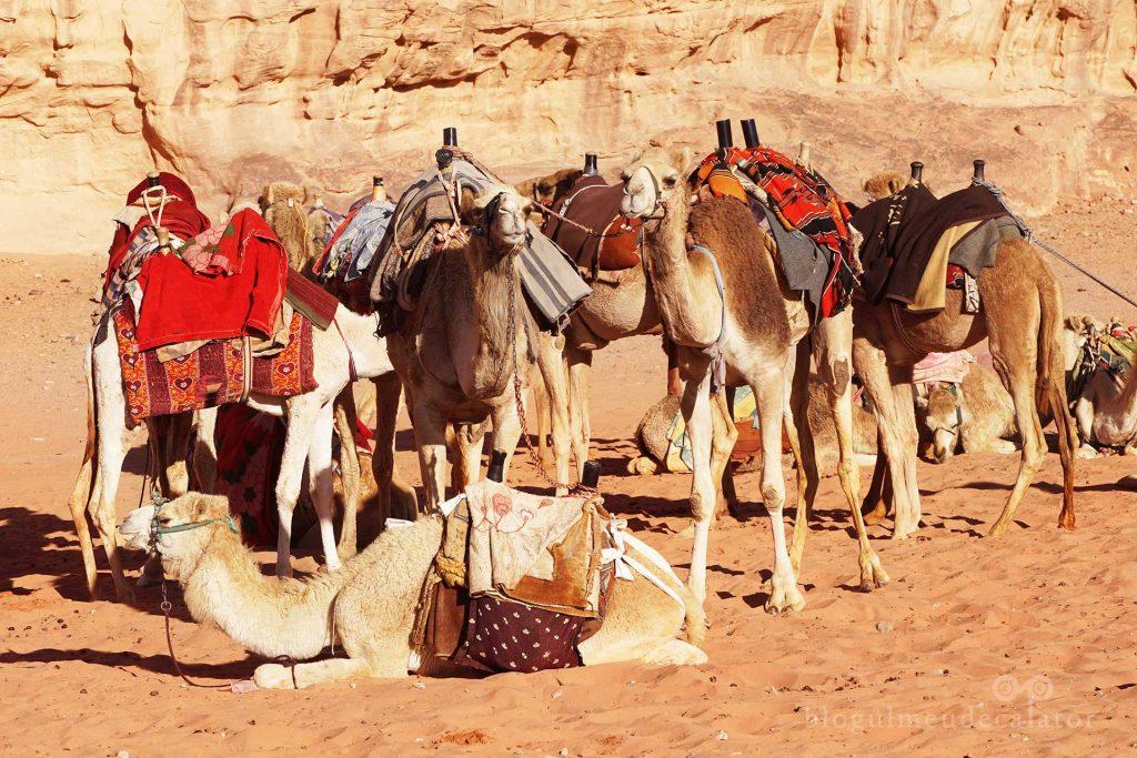 camile in desertul Wadi Rum