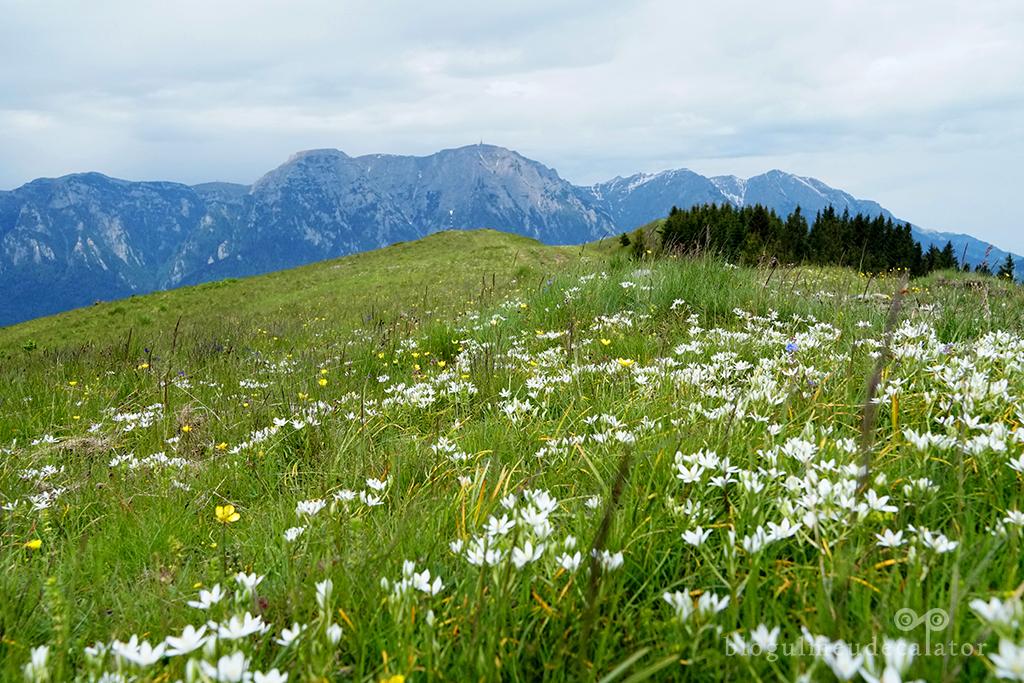 flori de munte in Baiului