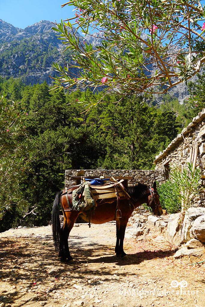 cal pentru transport in Cheile Samariei